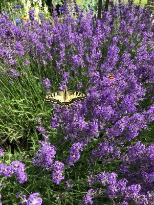 Schmetterling_Lavendel_2