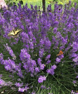 Schmetterling_Lavendel_3